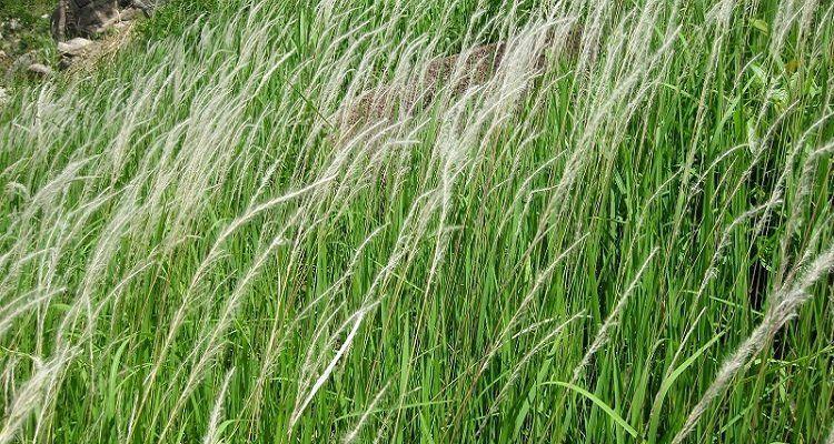 Rễ cỏ tranh - loại cây quen thuộc hỗ trợ giải độc gan thận hiệu quả. (Nguồn ảnh: Internet)