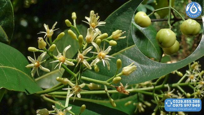 Bưởi bung - thành phần không thể thiếu của Cao thực vật Đại Phú An
