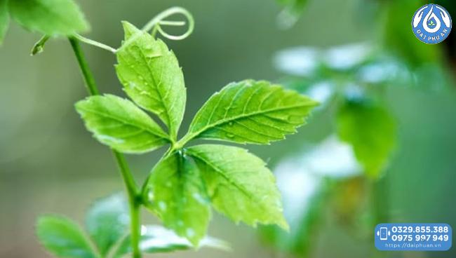Giảo cổ lam trong cao thực vật Đại Phú An