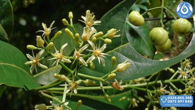 Bưởi bung trong cao thực vật Đại Phú An